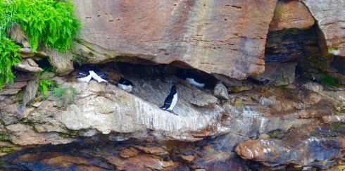Razorbills in Rock Crevice on Bird Islands Nova Scotia