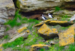 Puffins on Bird Islands Nova Scotia
