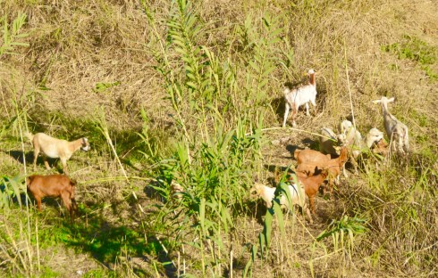 Cordoba Goats