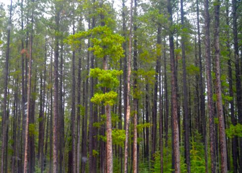 Cypress Hills Lodgepole Pines