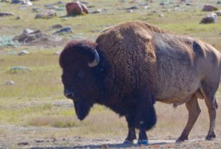Bison Bull - Grasslands National Park