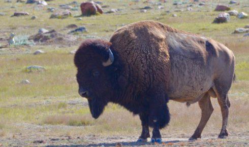 Bison Bull - Grasslands National Park