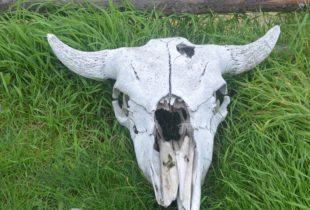 Batoche Bison Skull