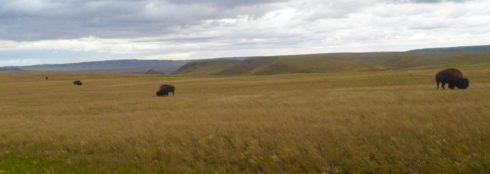 Buffalo in a Row