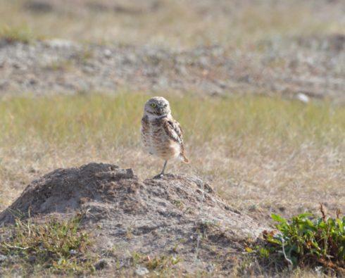 Burrowing Owl, Grasslands National Park