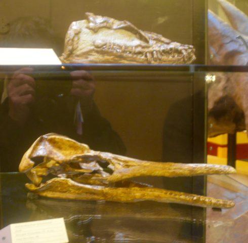 T. Rex Centre plesiosaur skulls