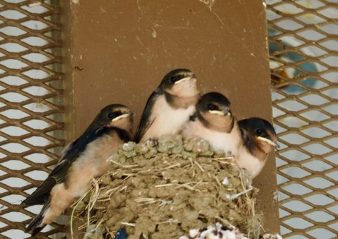 Four Baby Barn Swallows