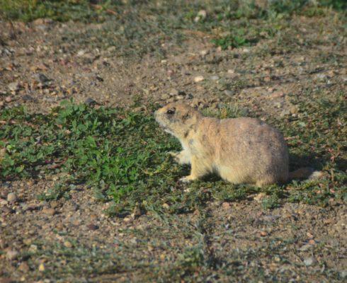Grasslands National Park prairie dog