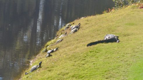 Alligator and Turtles Beside #14 green