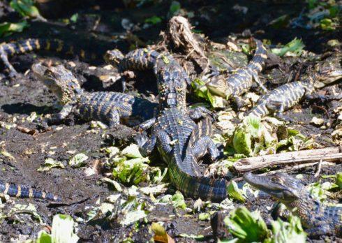 Baby Gators, Corkscew Sanctuary