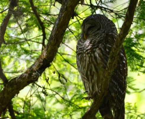 Barred Owl, Corkscrew Sanctuary