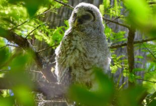 Barred Owlet, Corkscrew Sanctuary