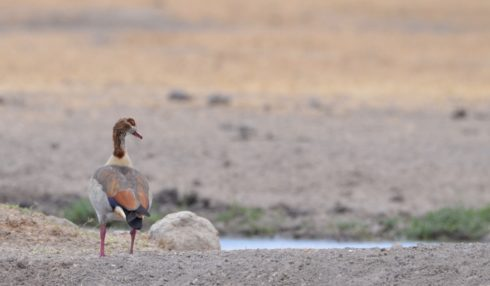 Egyptian Goose, Sweetwaters Camp