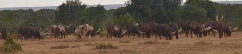 Enkore Cattle