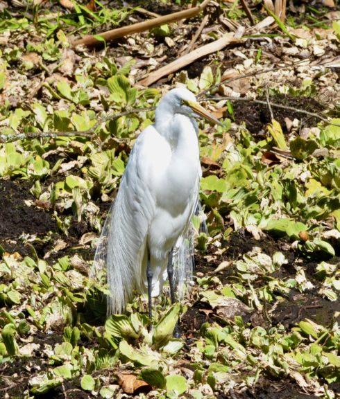 Great Egret in Breeding Plumage, Corkscrew Sanctuary