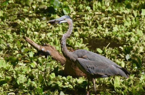 Great Blue Heron with Fish, Corkscrew Sanctuary