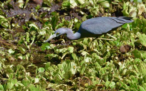 Little Blue Heron, Corkscrew Sanctuary