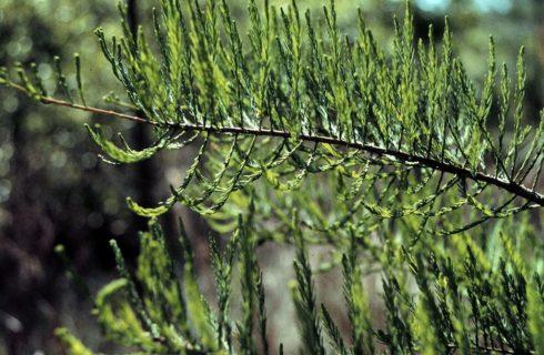 Pond Cypress Needles