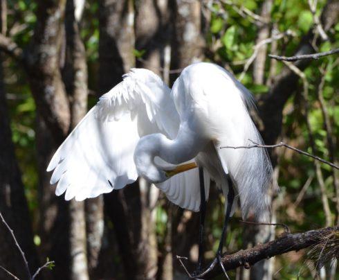 Angelic Egret