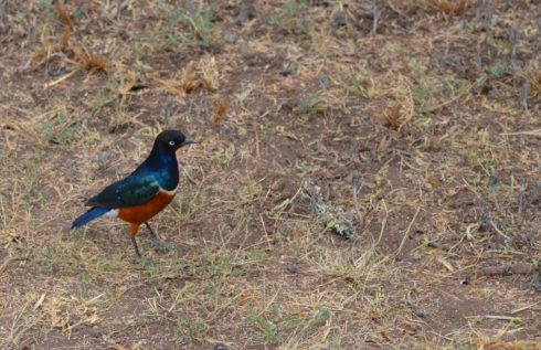 Superb Starling, Sweetwaters Camp