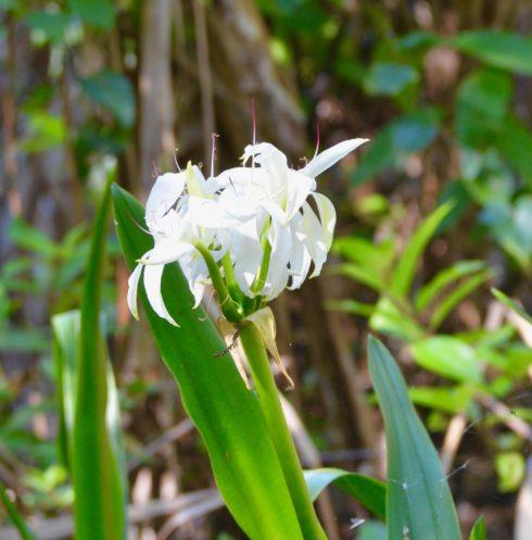 Swamp Lily, Corkscrew Sanctuary