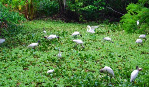 Wood Storks Corkscrew 2016
