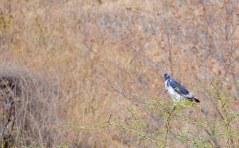 Augur Buzzard, Lake Nakuru