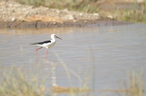 Black-Winged Stilt, Lake Nakuru
