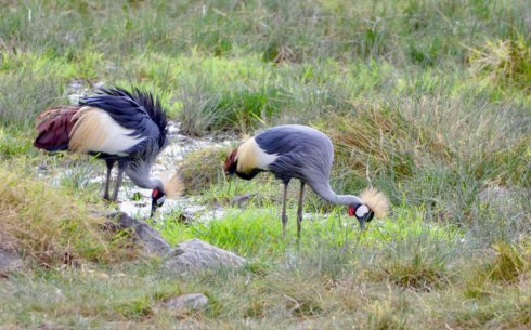 Crowned Cranes , Lake Nakuru