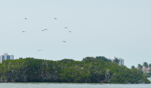 Magnificent Frigate Bird Nesting Site