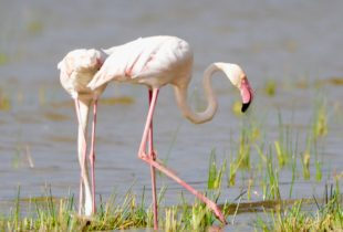 Greater Flamingo, Lake Nakuru National Park
