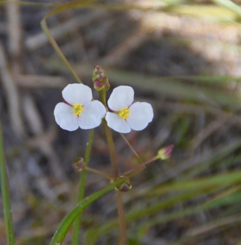 Kissimmee Prairie Flower 2