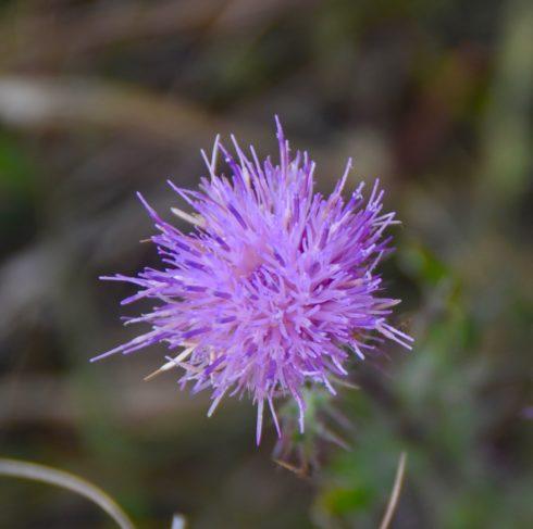 Kissimmee Prairie Flower 4
