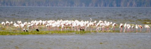 Lake Nahuru Flamingos