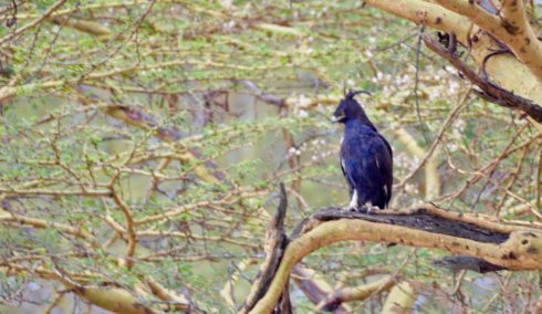 Long-Crested Eagle, Lake Nakuru