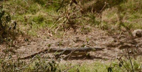 Monitor Lizard, Lake Nakuru