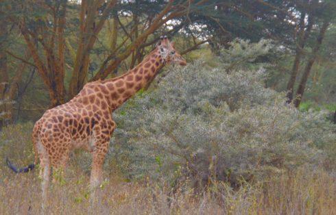 Rothschild's Giraffe, Lake Nakuru