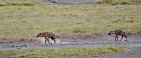 Spotted Hyenas, Lake Nakuru