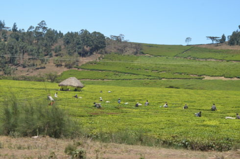 Tea Plantation Workers