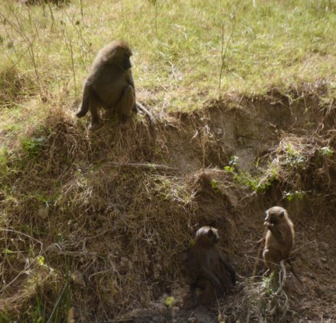 Three Baboons, Lake Nakuru