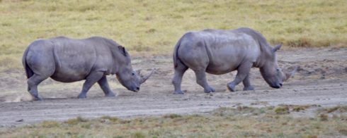 Two White Rhinos, Lake Nakuru