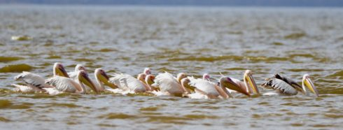 White Pelicans, Lake Nakuru