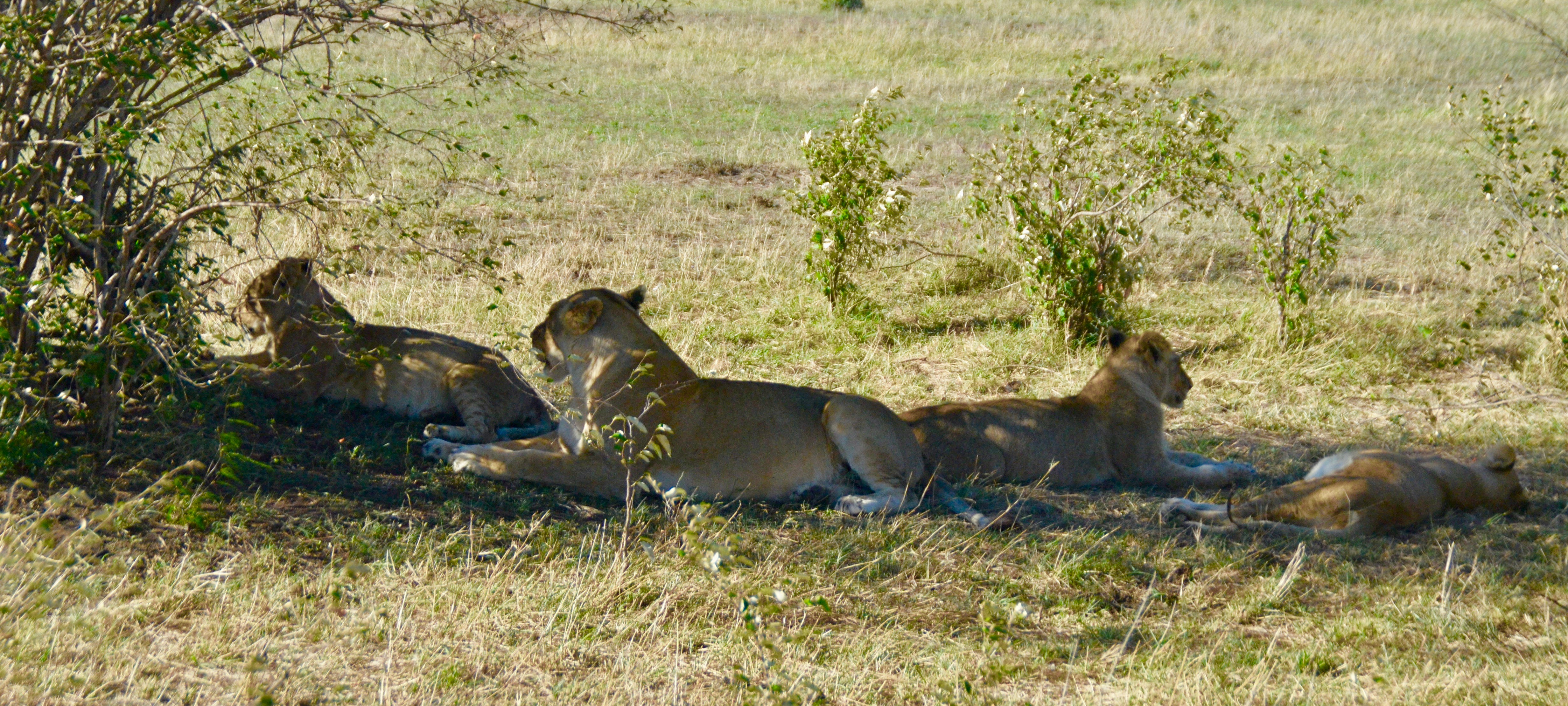 Four Sated Lions, Masai Mara