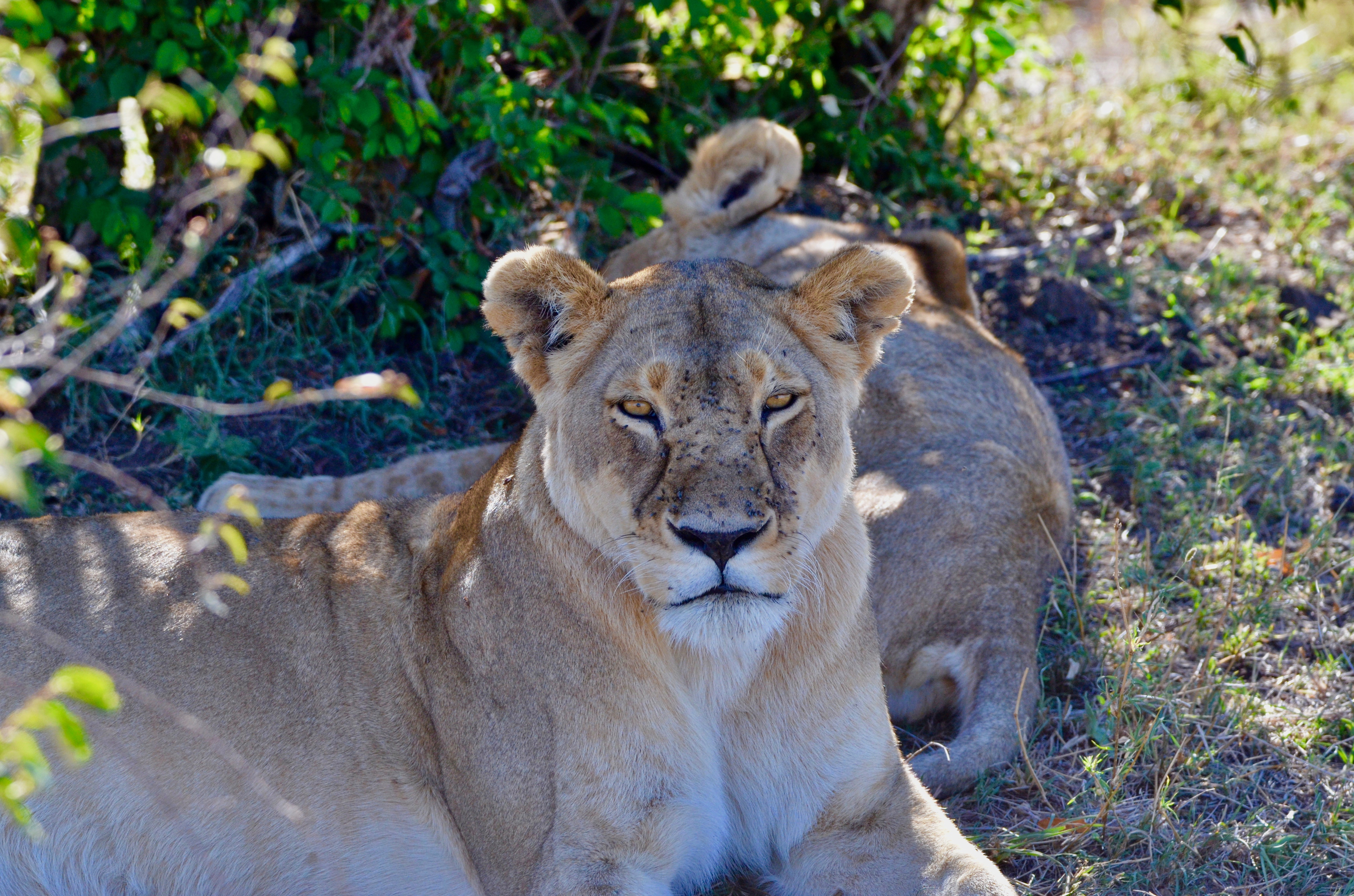 Lioness Staring at Me