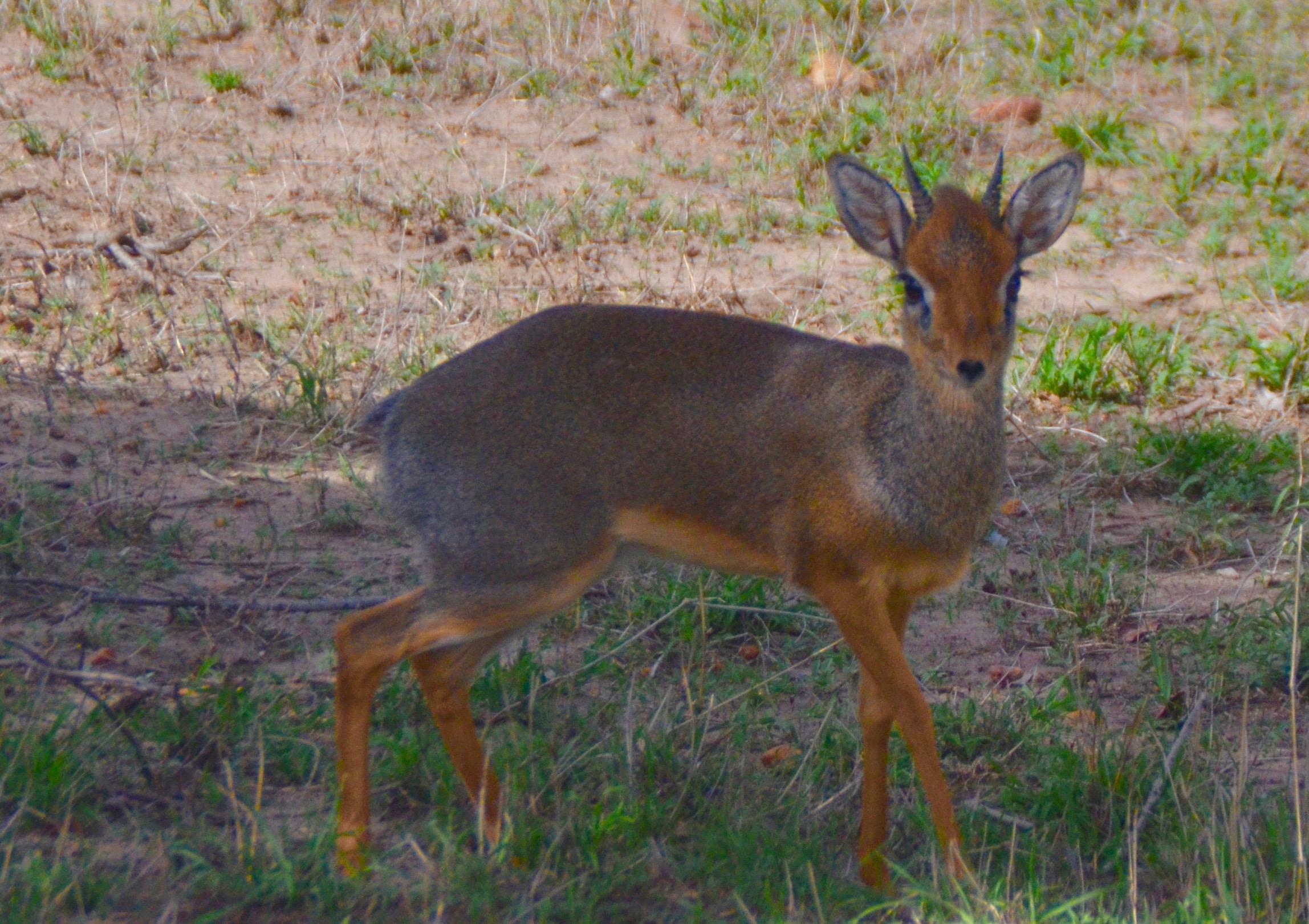Dik Dik, Masai Mara