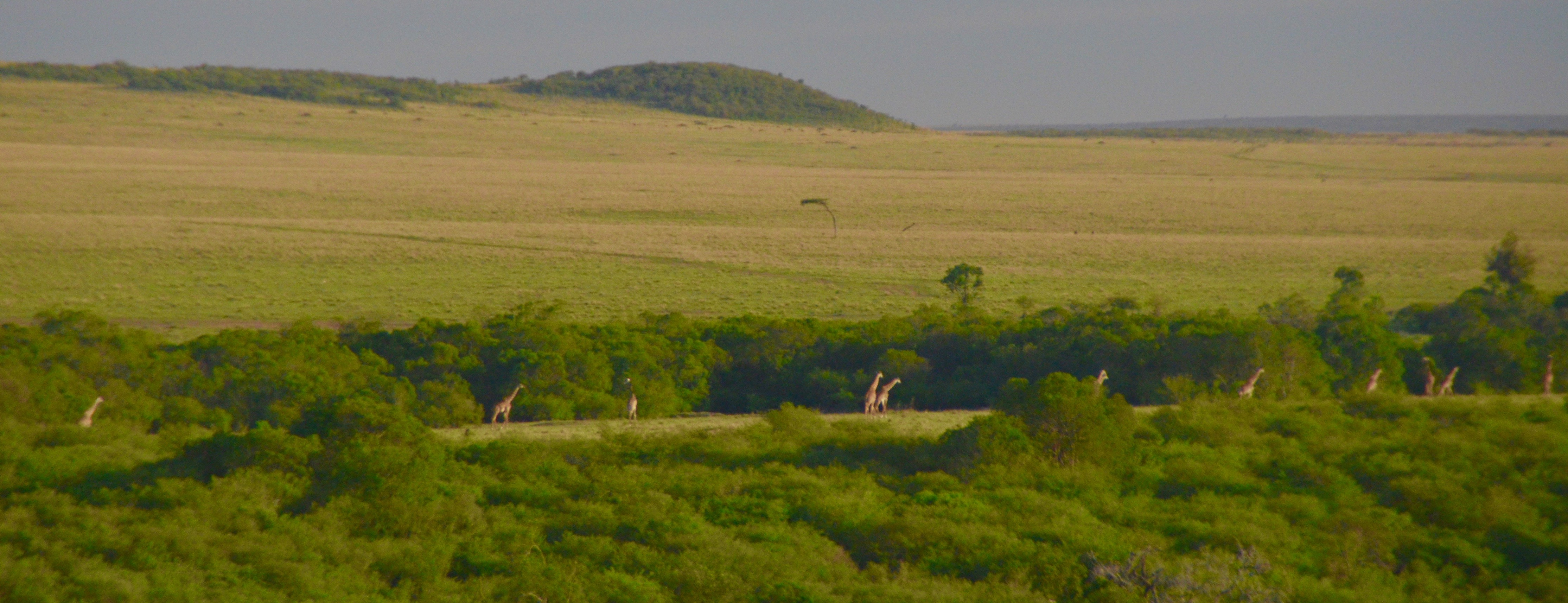 Giraffes on the Move, Masai Mara