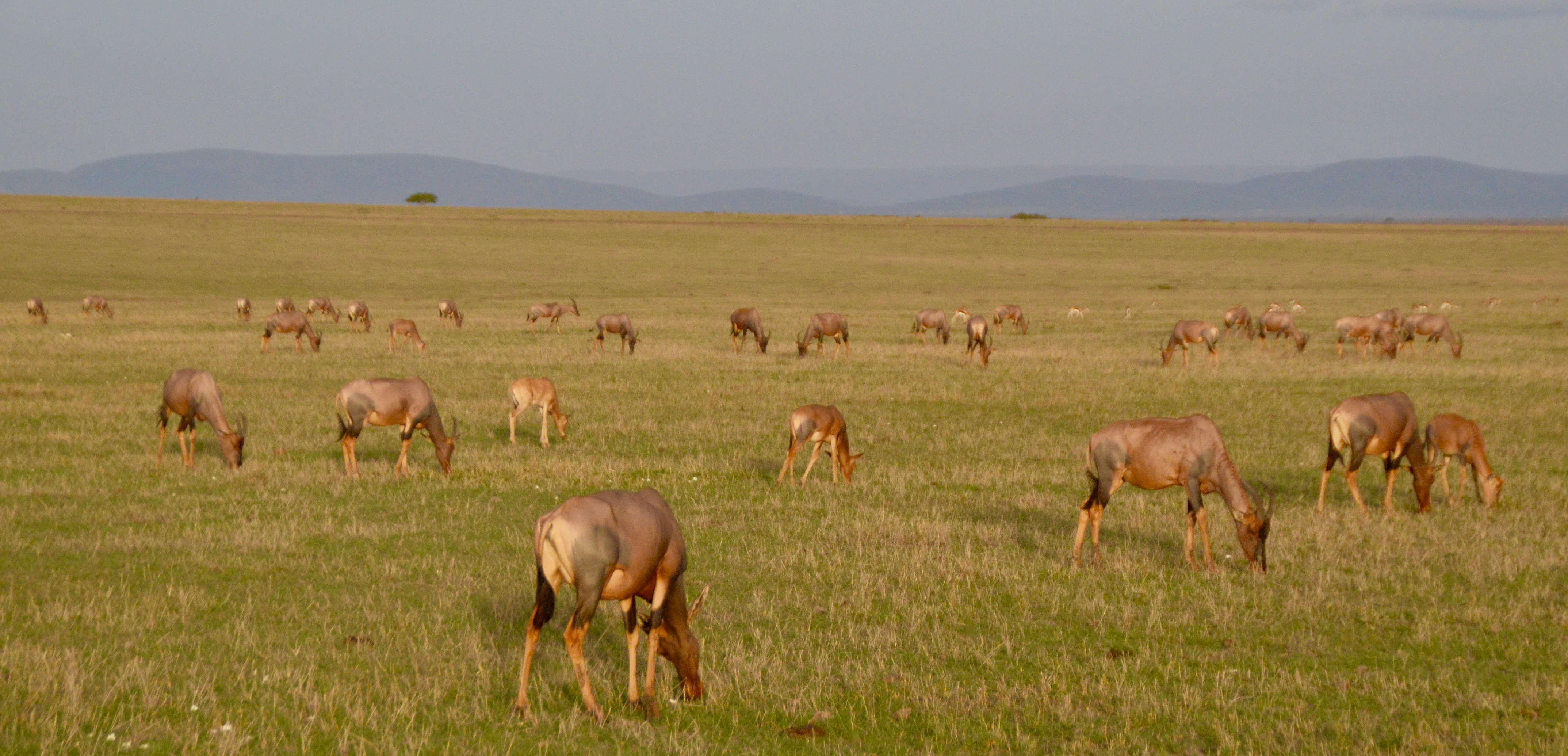 Grazing Herd of Topi, Masai Mara