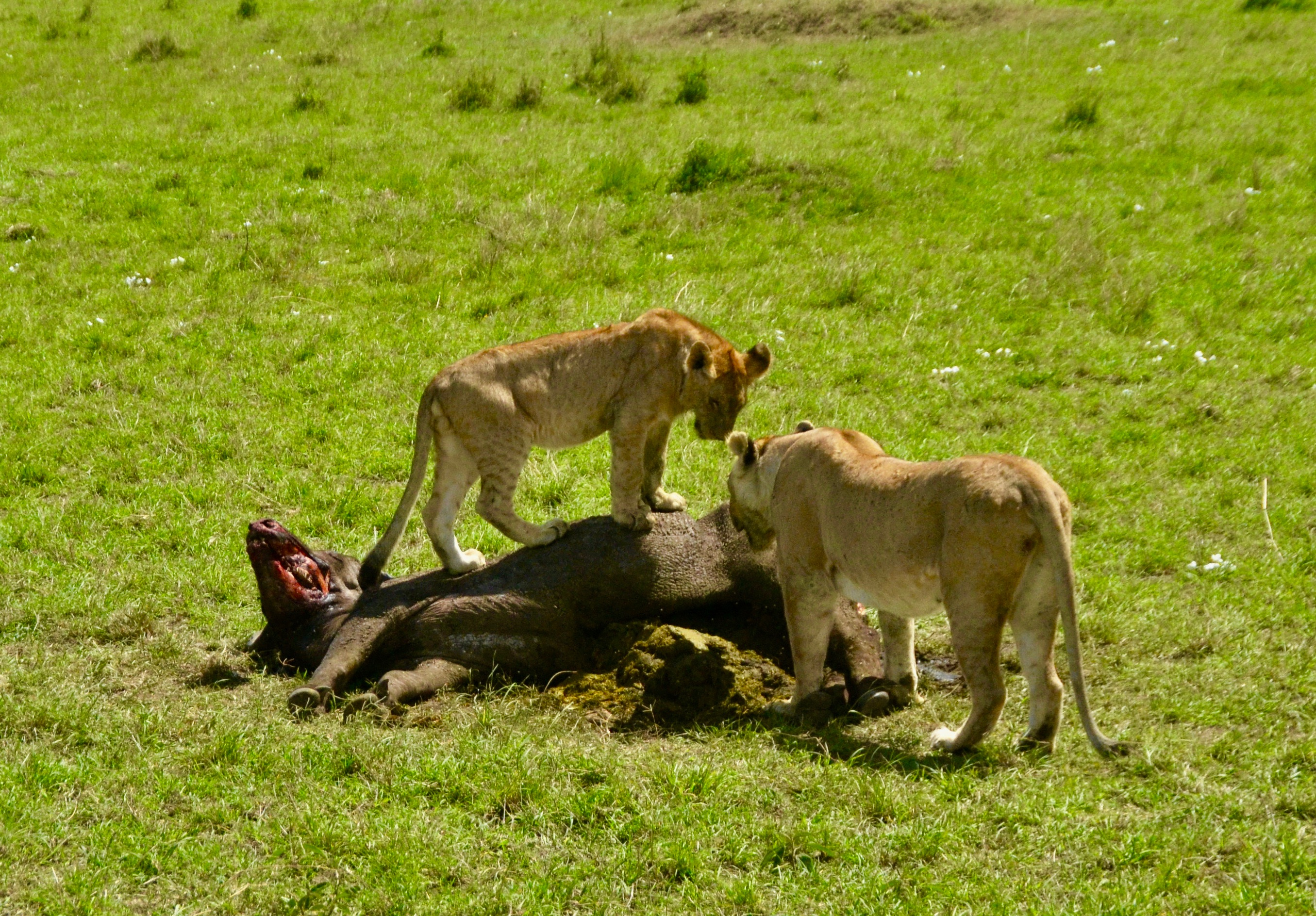 On Top of the Kill, Masai Mara
