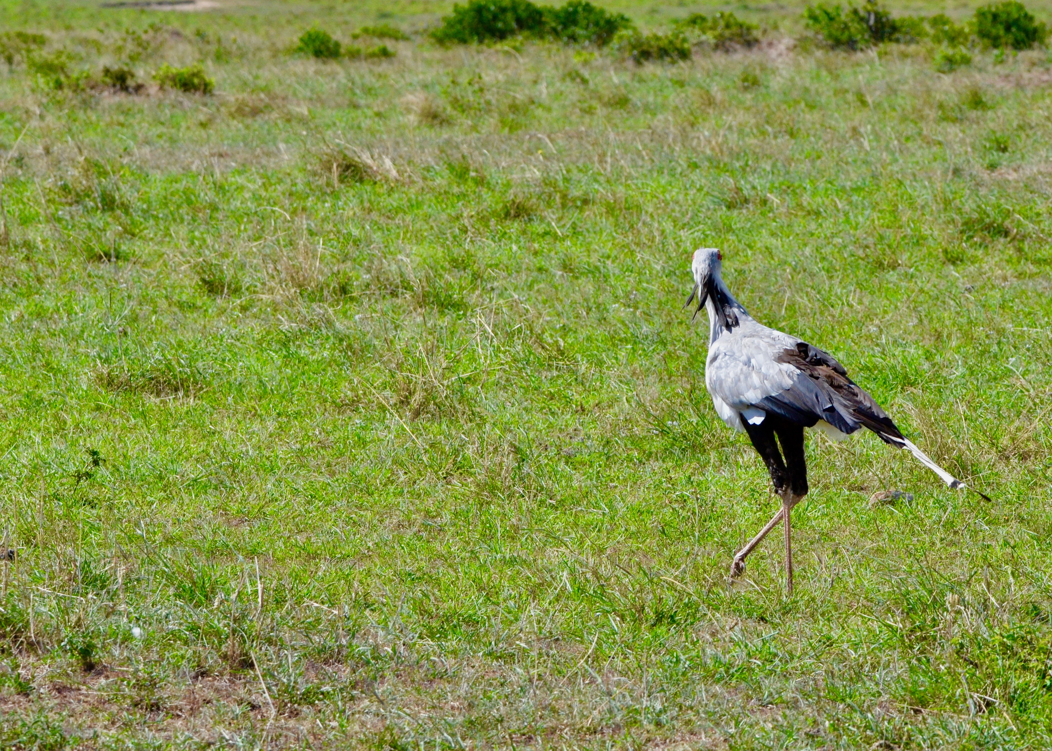 Secretary Bird, Masai Mara