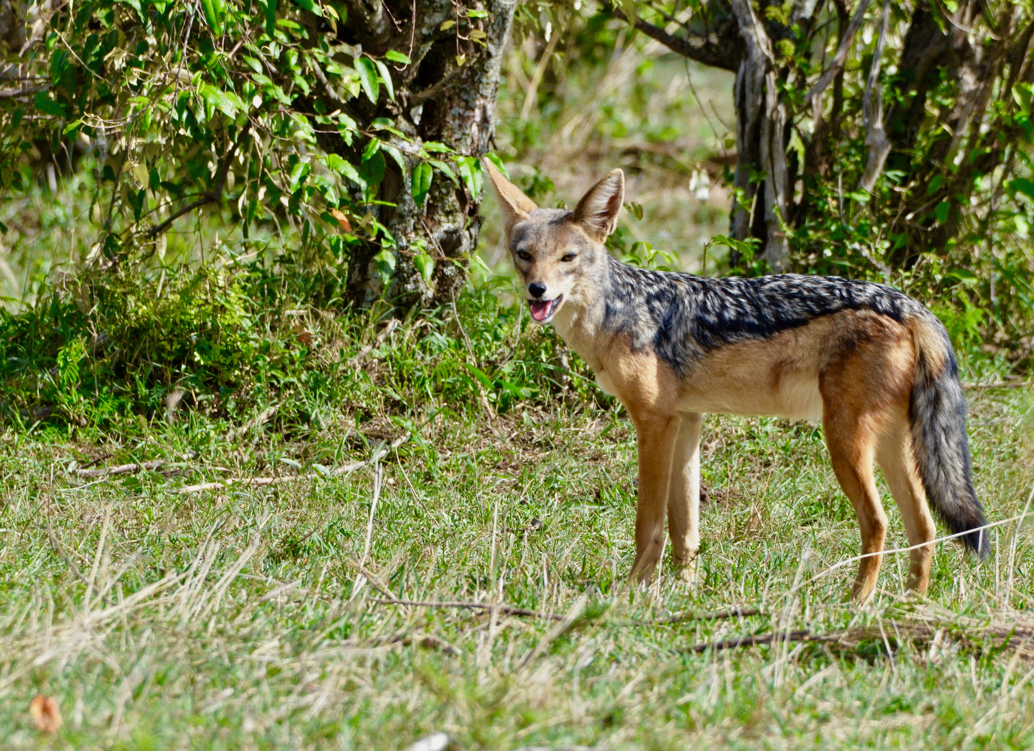 Silver Back Jackal, Masai Mara